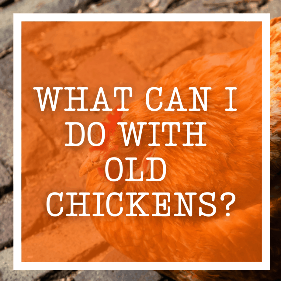 What Can I Do With Old Chickens?
