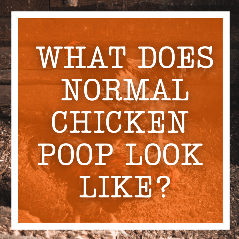 What Does Normal Chicken Poop Look Like?