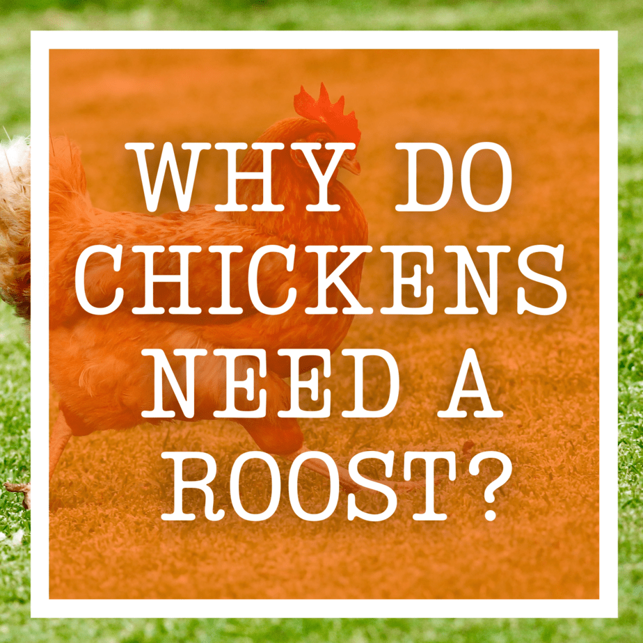 Why Do Chickens Need A Roost?