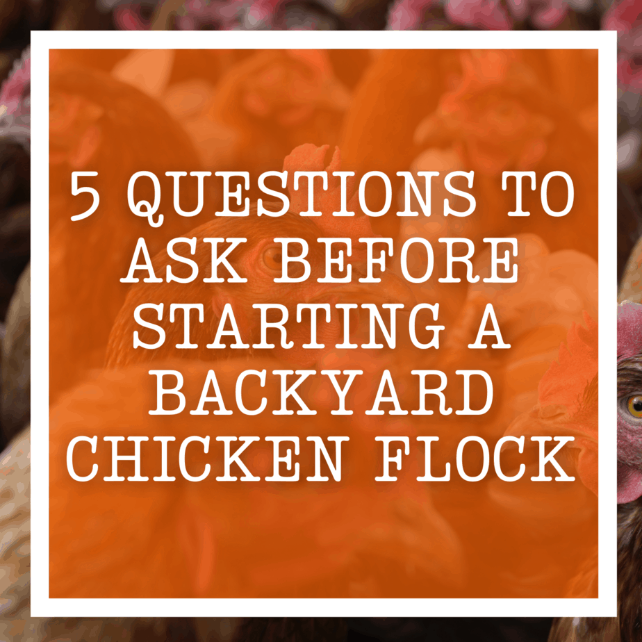 5 Questions To Ask Before Starting A Backyard Chicken Flock