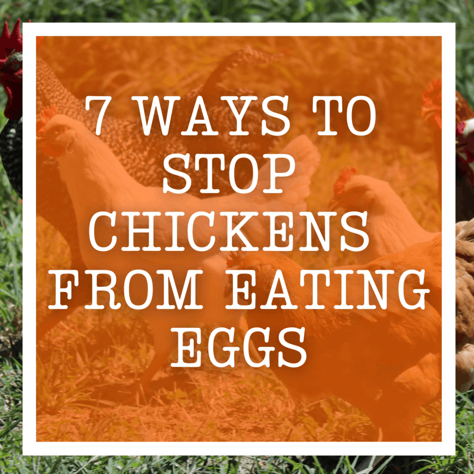 7 Ways To Stop Chickens From Eating Eggs