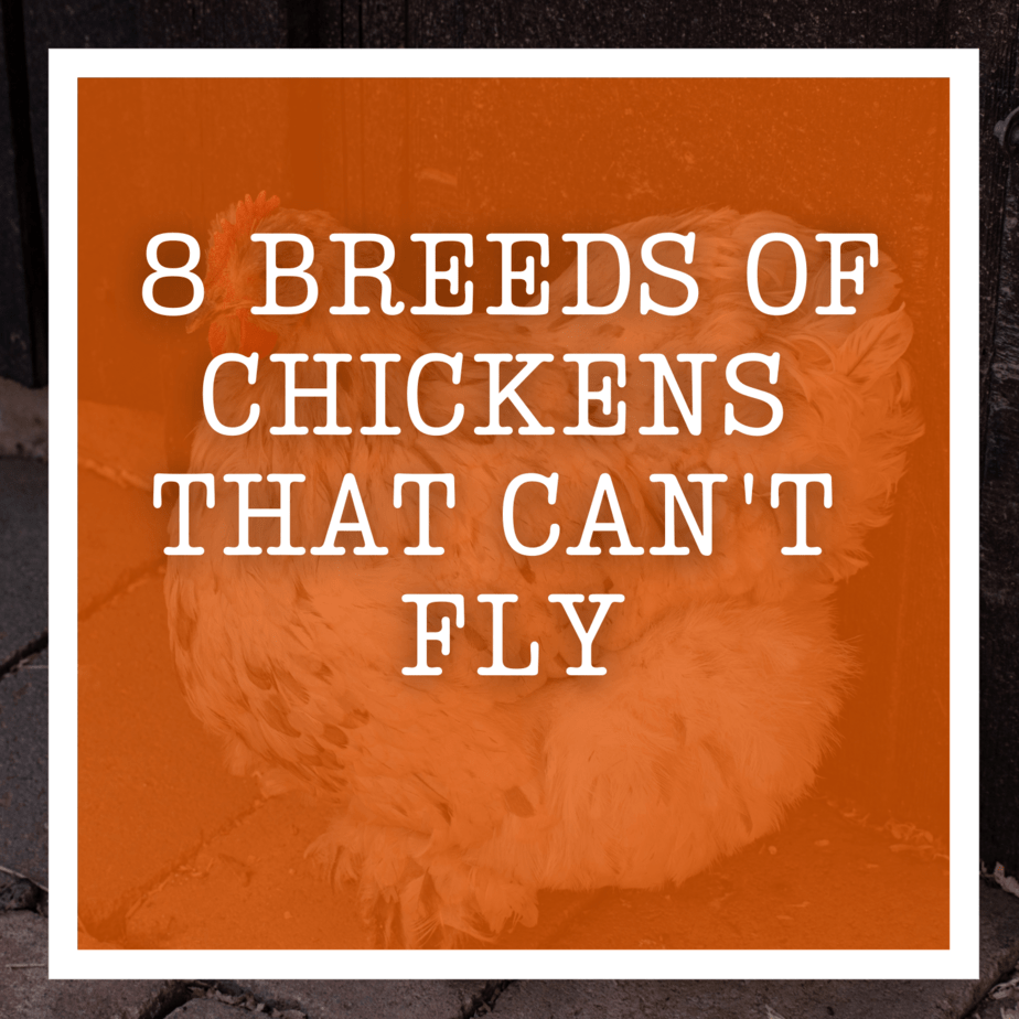 8 Breeds Of Chickens That Can't Fly