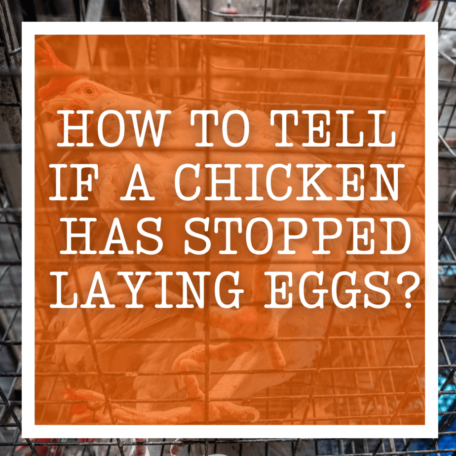 How to tell if a Chicken has stopped Laying Eggs?