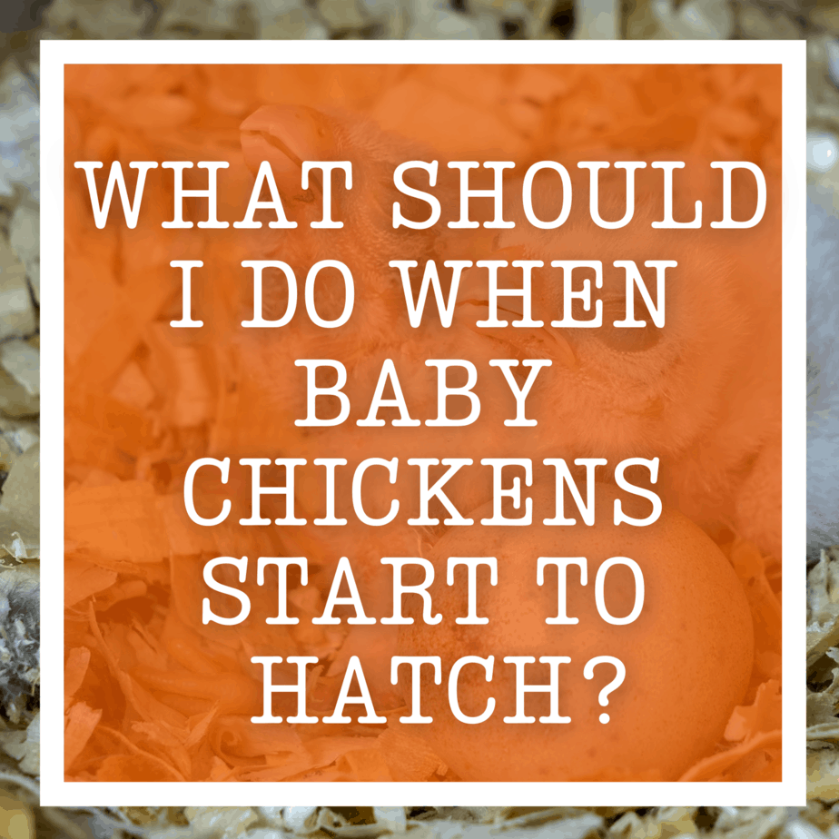 What Should I Do When Baby Chickens Start To Hatch?