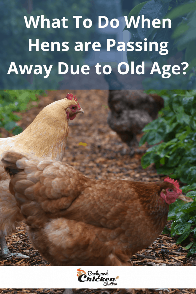 What To Do When Hens are Passing Away Due to Old Age?