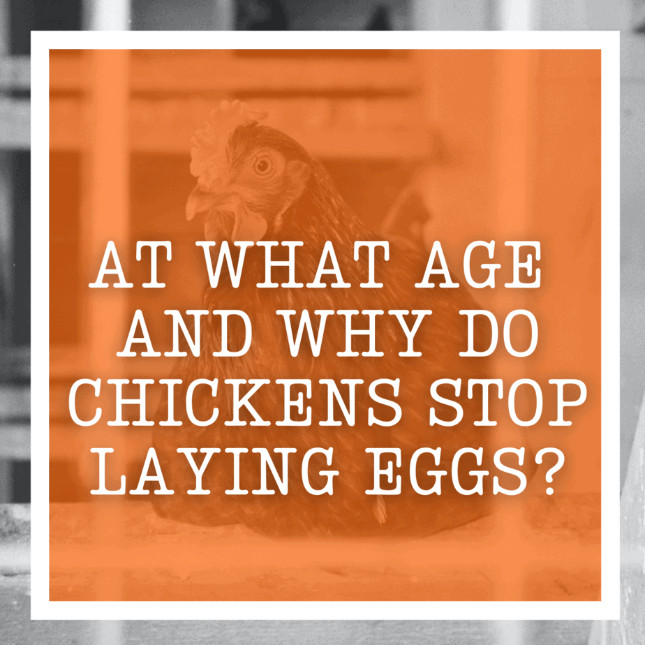 At What Age And Why Do Chickens Stop Laying Eggs?