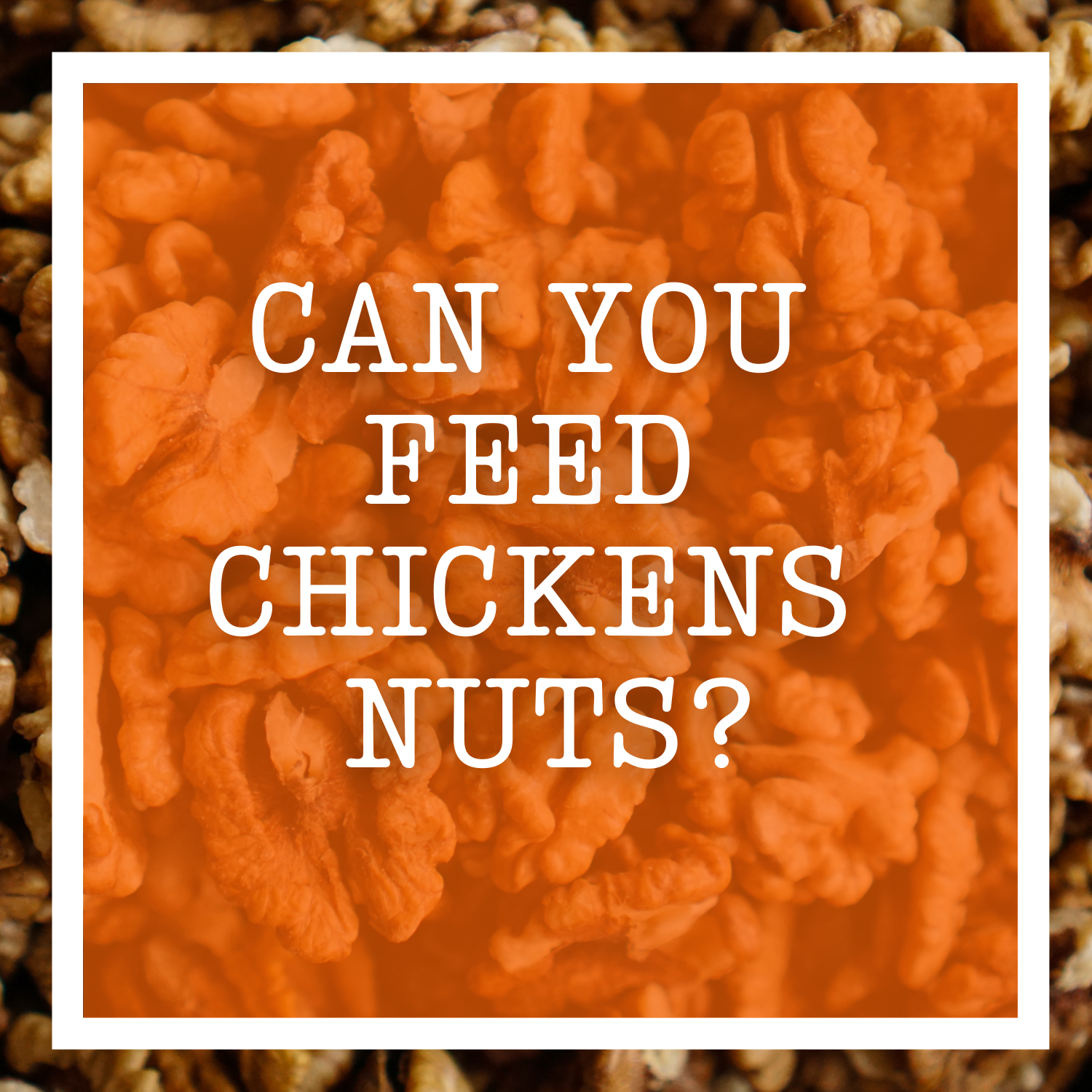 Can You Feed Chickens Nuts?