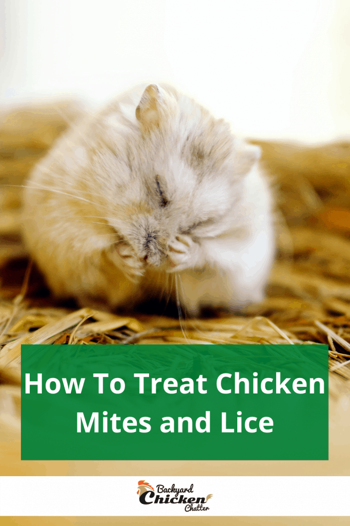 How To Treat Chicken Mites and Lice
