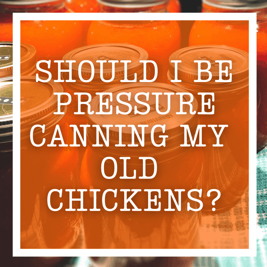 Should I Be Pressure Canning My Old Chickens?