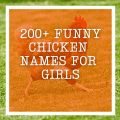 200+ Funny Chicken Names For Girls