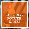 24+ Funny Rooster Names