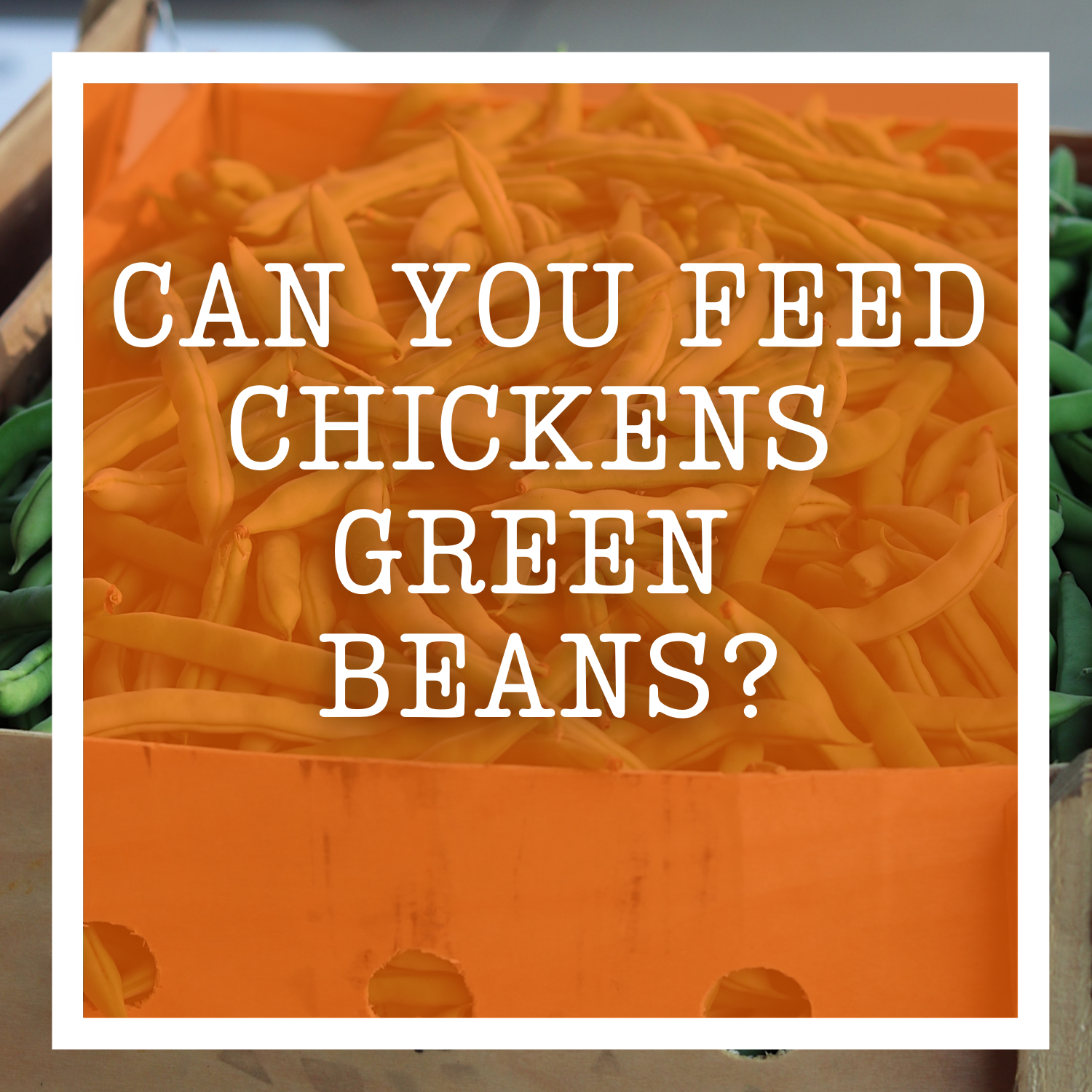 Can You Feed Chickens Green Beans?