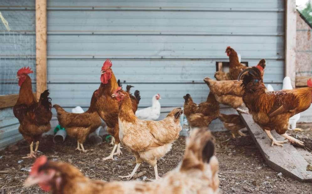 5 Best Chicken Coop Cleaner and Deodorizers