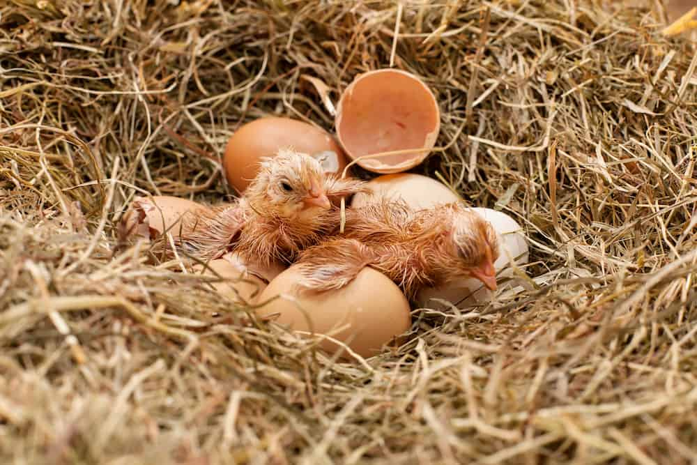 What Should You Expect After Your Chicks Hatch?