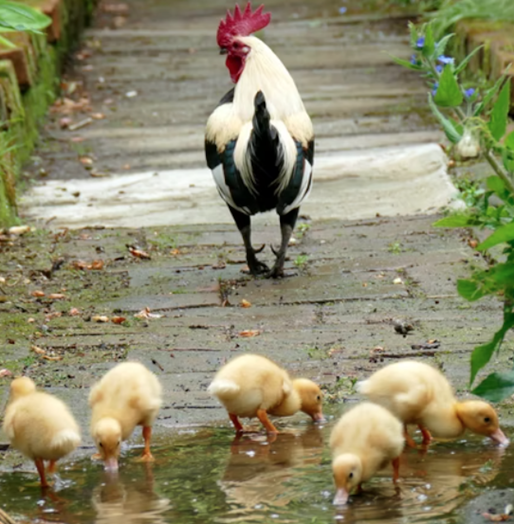 Can Ducks and Chickens Mate?