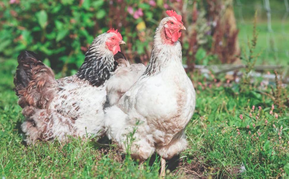 Cochin Chickens1